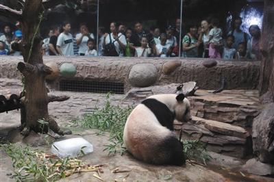 昨日,北京动物园大熊猫馆,工作人员特意为熊猫准备了冰块降温.